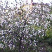 В цветущем Украинском саду :: Миша Любчик