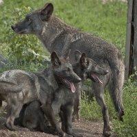 Семейка чёрных волков :: Владимир Максимов