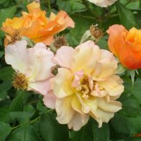 Двухцветный куст роз :: Самохвалова Зинаида