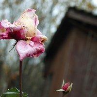 Розы в октябре :: Ирина Татьяничева