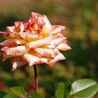 увядшая роза :: Ирина Татьяничева
