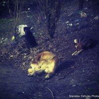 Прайд бездомных собак :: Станислав Джулай