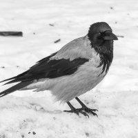 на снегу :: Андрей Маслов