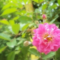 Китайская роза) :: Виолетта Тибилова