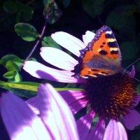 бабочка :: Анастасия Пирогова