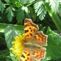 Красавица-бабочка :: Анна Серобабова