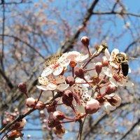 Алыча и пчелка)) :: Виолетта Тибилова