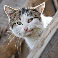 кот соседский с уголком :: Юрий Величко
