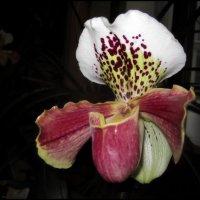 Орхидея :: Василиса Никитина