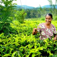 чайные плантации цейлона. :: Марина Брюховецкая