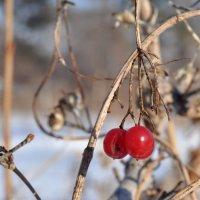 Зимние ягоды :: Vladimir Beloglazov