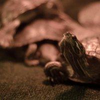 черепаха) :: Дмитрий Скипор