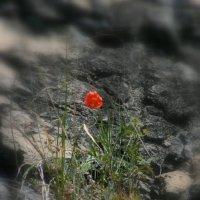 Аленький цветочек :: Иван Гиляшев