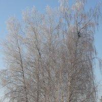 Зимнее кружевье белых берёз-2 :: Наталья Золотых-Сибирская