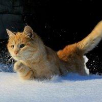 Рыжий тигр на  охоте :: Андрей Семенов