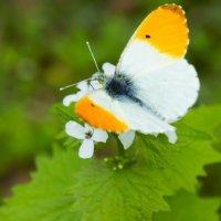 Бабочка в районе Попова Хутора, Владикавказ :: Zak Doguzov