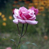 Холодная роза :: Ирина Татьяничева
