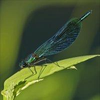 Красотка блестящая (Calopteryx splendens) :: Сергей Котусов