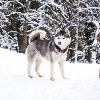Зимняя сказка с хаски :: Константин Онисько