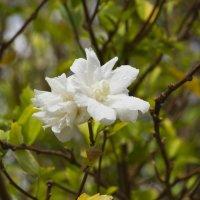 белый цветок :: Олег Волков