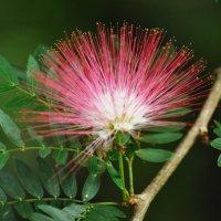 Цветок альбиции :: Ида Рубинштейн