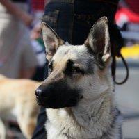 Выставка собак 2012 :: Андрей Юзеев
