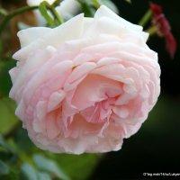 роза для любимой :: Олег Лукьянов
