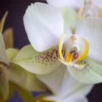 Орхидея :: Андрей Иванов