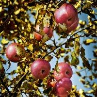 Про яблоки... :: Наталья Костенко