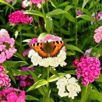 Бабочка в саду :: Татьяна Н.