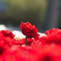 тюльпаны :: Natalya Kopyl