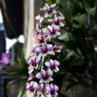 Орхидея :: Венера Чернышова
