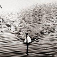 Лебедь :: TATYANA PODYMA