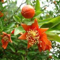 Гранат цветёт. :: юрий