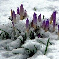 Снежные крокусы :: Alexander