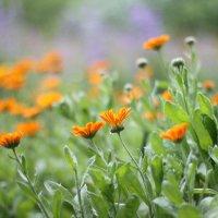 Оранжевые солнышки :: Марина Щуцких