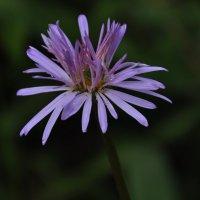 От бутона к цветку4 :: Vera Hloponina