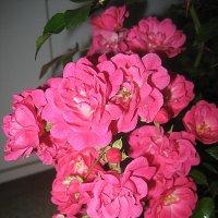 Розы :: laana laadas