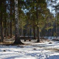 Хвойный лес :: Милешкин Владимир Алексеевич