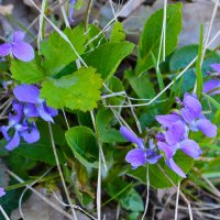 Первые цветение в лесу...апрель) :: Аทลﮎłล ﮎÌА