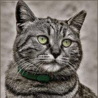 Грация-из серии Кошки очарование мое! :: Shmual Hava Retro