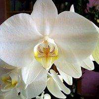 Орхидеи :: Ирина Фирсова