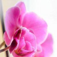 Орхидея :: Александр