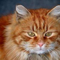 Рыжая кошка :: Игорь Попов