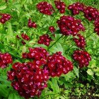 Купаясь в аромате турецкой гвоздики :: Светлана Лысенко