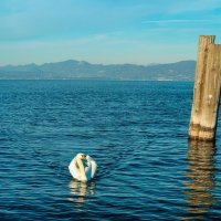 Белый лебедь на пруду :: Aнатолий Бурденюк