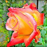 роза под дождем :: Александр Корчемный