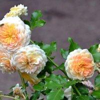 Питерские розы :: zhanna-zakutnaya З.