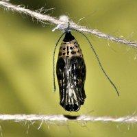 куколка бабочки :: оксана рахова