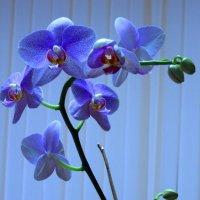 Голубая орхидея :: Сергей Карачин
